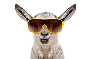 Portrait of a goat in sunglasses isolated on white background