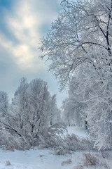 Branch tree in snow. Winter snow sunshine background. Tree branches covered with hoarfrost against the sky and the backlight