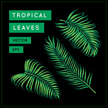 Green palm leaves isolated on black background. Tropical exotic foliage. Jungle leaf. Palm tree branch. Vector botanical illustration. Vintage floral design element. Areca palm. EPS 10.