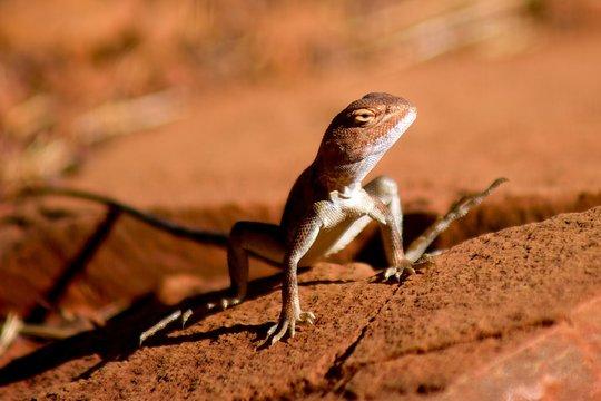lizard red earth desert australia outback