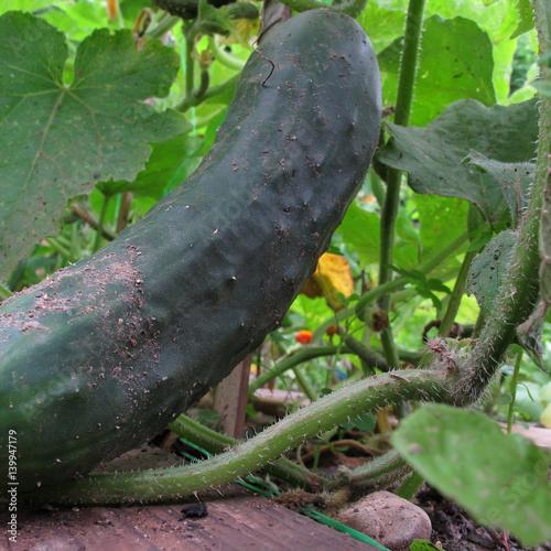 Concombre pr t r colter vive le jardin stock photo for Vive le jardin istres