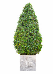 Pine tree on white background, Isolated image