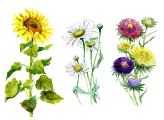 Watercolor aster, chrysanthemum, sunflower, chamomile  bouquet on a white background illustration.