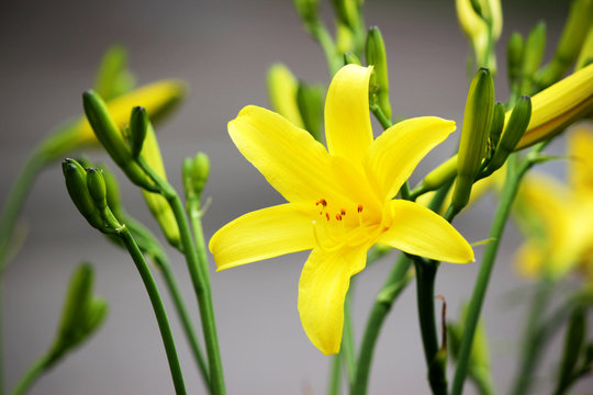 Yellow lilies in the garden. Colored background.