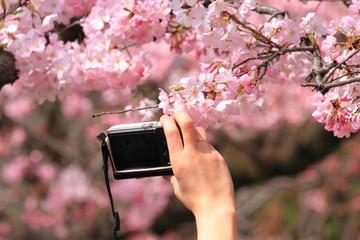 桜を撮影する女性の手