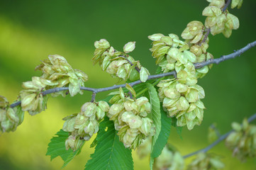 Seeds of elm