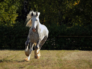 Beautiful dapple grey horse running free in english countryside