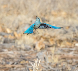 Mountain bluebird in flight, photographed in central New Mexico