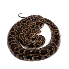 Burmese python on white background