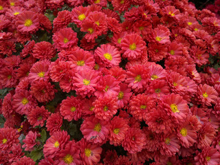 Red chrysanthemum with drops of dew