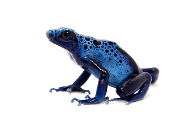 Blue Poison dart frog, Dendrobates tinctorius Azureus, on white