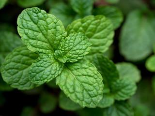 Green mint leaf closed up