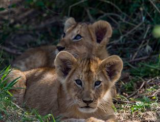 Lions of Masai Mara and Serengeti