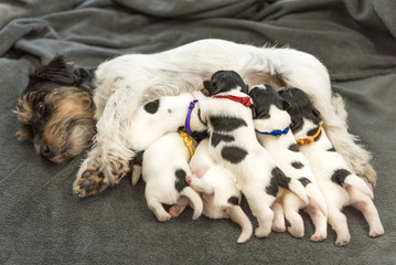 Newborn dogs baby - 8 day old - jack russell