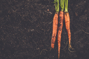 Wall Mural - fresh raw carrot on the soil background