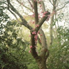 Pink cherry blossom on tree trunk
