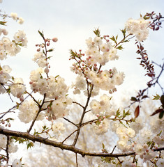 Close-up of branch with white cherry blossom
