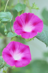 Morning glory of the twins,,