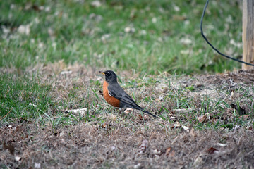 Spring Robin standing in the grass