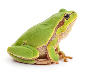 Green frog isolated.