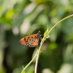 Butterfly Orange,sitting on green leaves