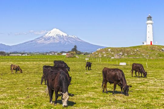 Cattle Grazing, Taranaki, New Zealand