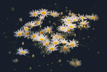 Wall Mural - Daisy Flower on black background
