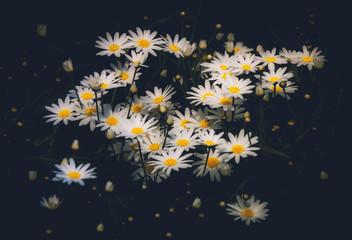 Fototapete - Daisy Flower on black background
