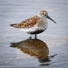 Dunlin Bird in Presque Isle Bay Lake Erie