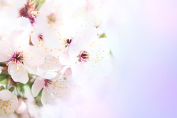 Beautiful white flowers of blossoming apricot tree.