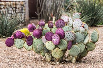 Purple Prickly Pear Cactus in Arizona