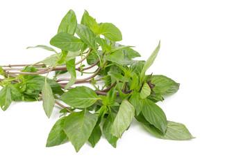 Fresh basil leaves isolated on white background.