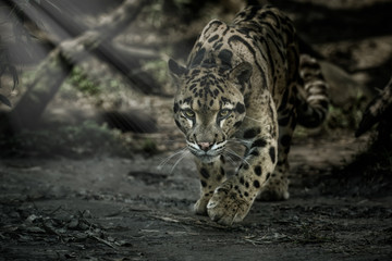 Poster Leopard Clouded leopard is walking towards from the shadows to the light/big cat male from a darkness/zoo in czech republic/neofelis nebulosa/vey rare creature