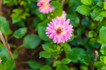 Beautiful Dahlia flowers