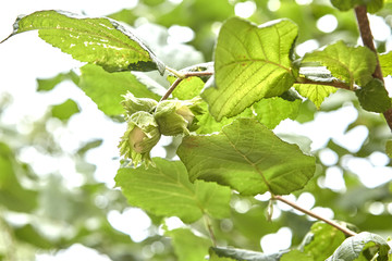 Green hazelnuts and tree leafs in summer garden