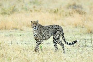 Cheetah in the savannah, Serengeti National Park, Tanzania