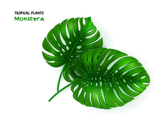 vector illustration of isolated realistic tropical monstera plant