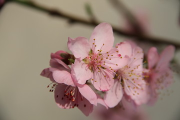 flowering branch of peach closeup
