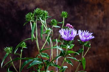 Fototapete - Blue stokesia laevis, Stokes' aster