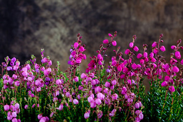 Wall Mural - Irish cross-leaved heath
