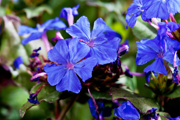 Wall Mural - Blue Cape leadwort
