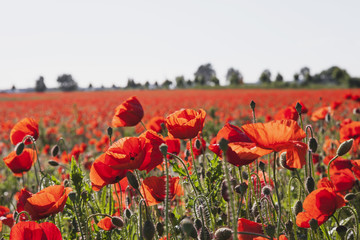 Wall Mural - Red poppies in field