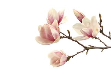 Wall Murals Magnolia magnolia