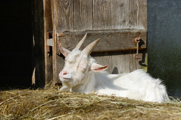 goat lying in front of shed and sleep