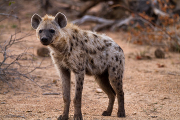Photo sur Plexiglas Hyène hyena walking in the bush of kruger national park