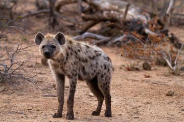 Deurstickers Hyena hyena walking in the bush of kruger national park