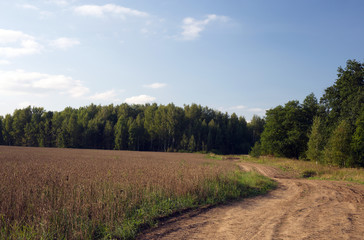 Field of yellow wheat and cloud in the sky, on the forest background. Summer. Russia.