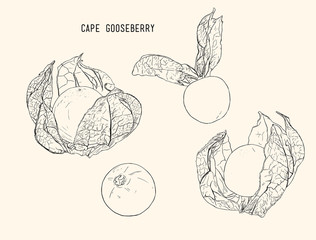 cape goose berry vector