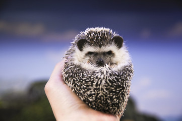 Little Hedgehog on hands