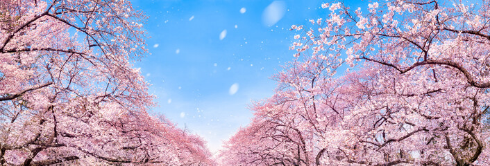 Wall Mural - Kirschblüte Panorama im Frühling